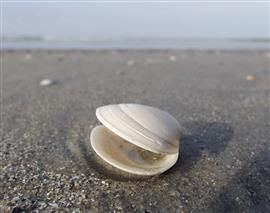 Stevige strandschelp Spisula solida Vlieland. Foto Koos Dijksterhuis