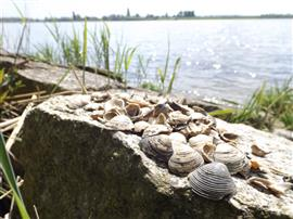 Korfmossels. Foto Koos Dijksterhuis
