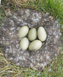 Eidereend nest. Foto Koos Dijksterhuis