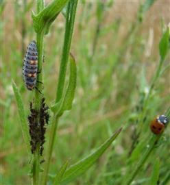 Zevenstippelig lieveheersbeestje, kever en larve (bij bladluizen). Foto Jeanette Essink