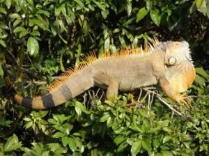 Groene leguaan Iguana iguana. Foto Koos Dijksterhuis