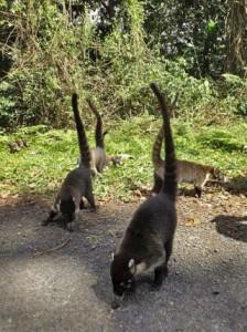 Witsnuitneusberen (coati; pizote) Nasua narica. Foto Koos Dijksterhuis