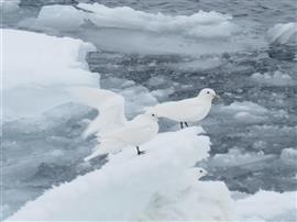 Ivoormeeuwen op ijs. Foto Koos Dijksterhuis
