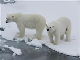 IJsberen Spitsbergen 2015. Foto Koos Dijksterhuis