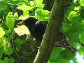 Spreeuw bosvogel 3349a