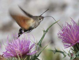 Kolibrivlinder b. Foto Koos Dijksterhuis