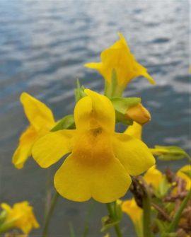 Gele maskerbloem. Foto Koos Dijksterhuis