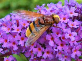 Stadsreus op vlinderstruik. Foto Koos Dijksterhuis